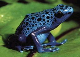 Grenouille Bleue Venimeuse dendrobate azureus