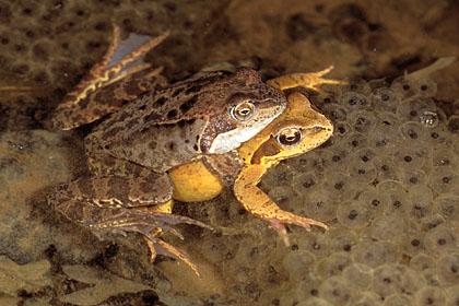 reproduction_5_accouplement_axillaire_ou_ponte_des_grenouilles